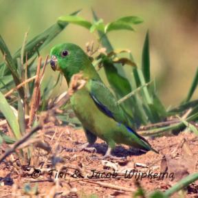 Dusky-billed Parrotlet (Forpus modestus) Copyright T&J Wijpkema.