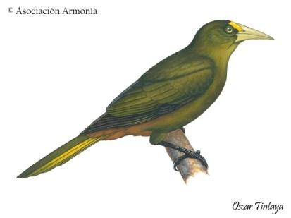 Dusky-green Oropendola (Psarocolius atrovirens)