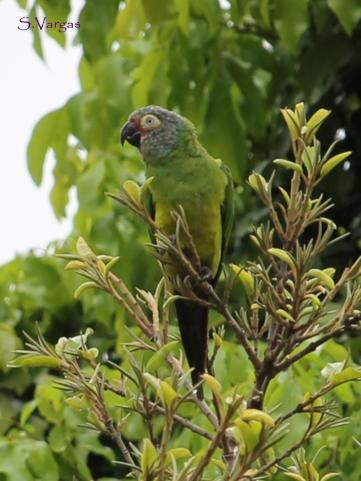 Dusky-headed Parakeet (Aratinga weddelli). Copyright S Vargas.