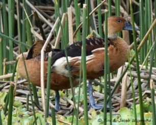 Fulvous Whistling-Duck (Dendrocygna bicolor) Copyright T&J Wijpkema.