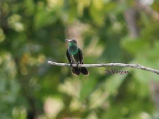 Glittering-throated Emerald (Amazilia fimbriata) 5 Copyright S Vargas