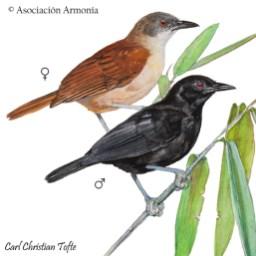 Goeldi's Antbird (Akletos goeldii)