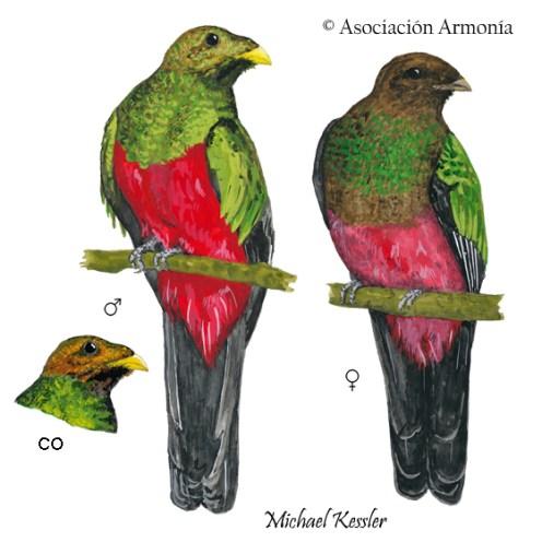 Golden-headed Quetzal (Pharomachrus auriceps)