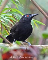 Gouldi's Antbird (Akletos goeldii) Copyright T&J Wijpkema