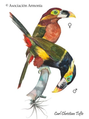 Gould's Toucanet (Selenidera gouldii)