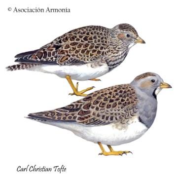 Gray-breasted Seedsnipe (Thinocorus orbignyianus)
