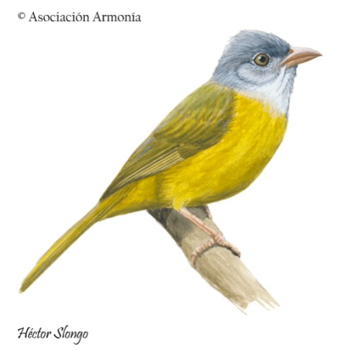 Grey-headed Tanager (Eucometis penicillata).