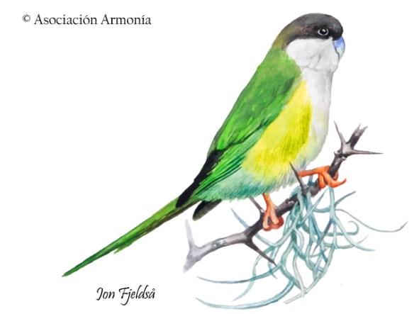 Gray-hooded Parakeet (Psilopsiagon aymara)