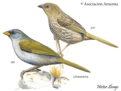 Great Pampa-Finch (Embernagra platensis)