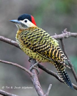 Green-barred Woodpecker (Colaptes melanochloros). Copyright T&J Wijpkema.