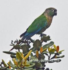 Green-cheeked Parakeet (Pyrrhura molinae). Copyright T&J Wijpkema.