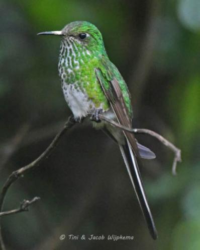 Green-tailed Trainbearer (Lesbia nuna), female. Copyright T&J Wijpkema.