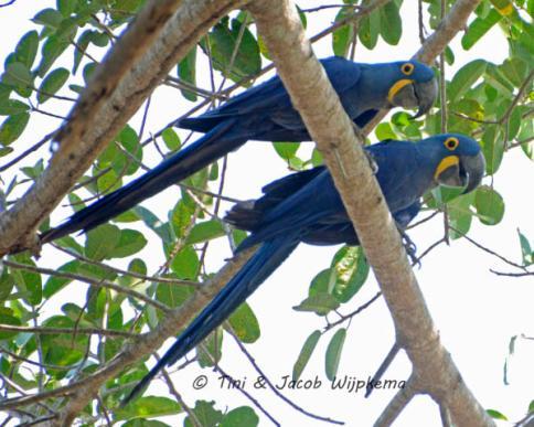 Hyacinth Macaw (Anodorhynchus hyacinthinus). Copyright T&J Wijpkema.