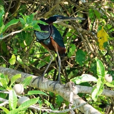 Agami Heron (Agamia agami). Copyright San Miguelito Jaguar Conservation Ranch.