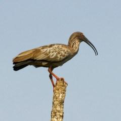 Plumbeous Ibis (Theristicus caerulescens). Copyright San Miguelito Jaguar Conservation Ranch.