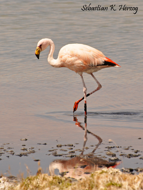 James's Flamingo (Phoenicoparrus jamesi). Copyright SK Herzog.