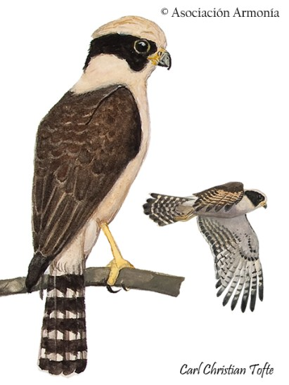 Laughing Falcon (Herpetotheres cachinnans)