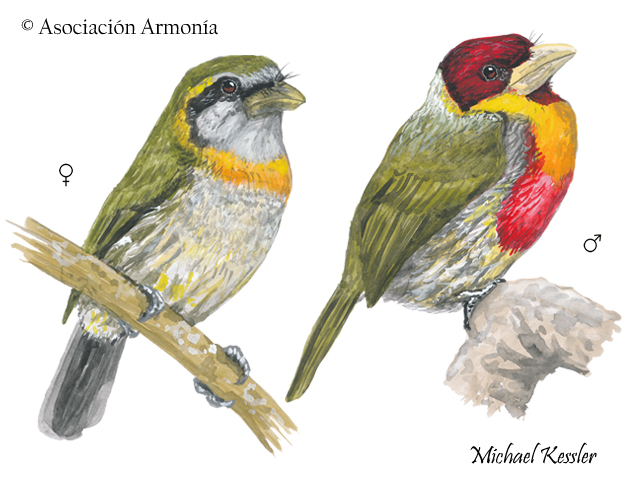 Lemon-throated Barbet (Eubucco richardsoni)