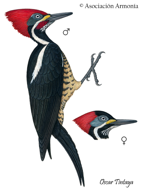 Lineated Woodpecker (Dryocopus lineatus).