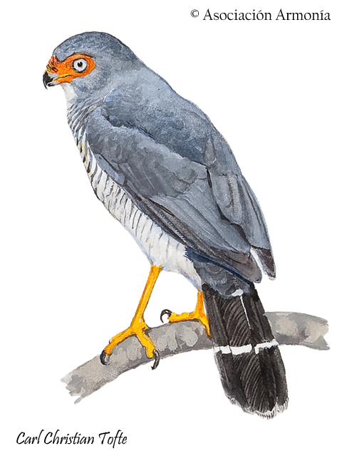 Lined Forest-Falcon (Micrastur gilvicollis)