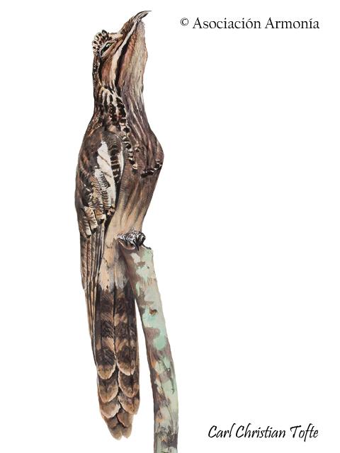 Long-tailed Potoo (Nyctibius aethereus)