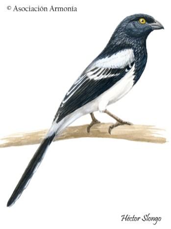 Magpie Tanager (Cissopis leverianus).