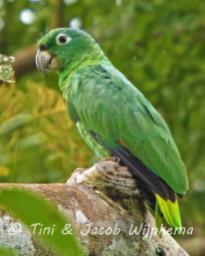 Mealy Parrot (Amazona farinosa). Copyright T&J Wijpkema.