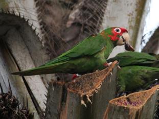 Mitred Parakeet (Psittacara mitratus). Copyright S Vargas.