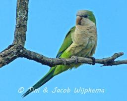 Monk Parakeet (Myiopsitta monachus). Copyright T&J Wijpkema.