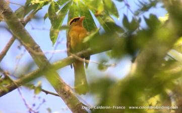 San Pedro Tanager (undescribed form). Copyright Diego Calderon, Colombia Birding.