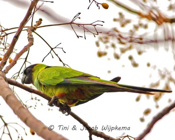 Black-hooded Parakeet (Aratinga nenday). Copyright T&J Wijpkema.