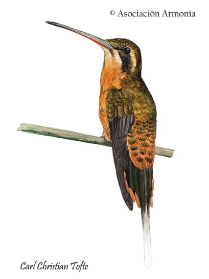 Needle-billed Hermit (Phaethornis philippii)