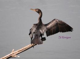 Neotropic Cormorant (Phalacrocorax brasilianus). Copyright S Vargas