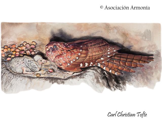 Oilbird (Steatornis caripensis)