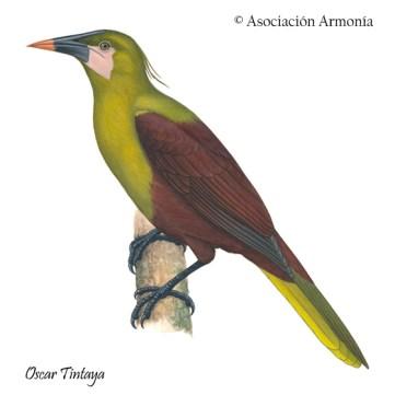 Olive Oropendola (Psarocolius bifasciatus)