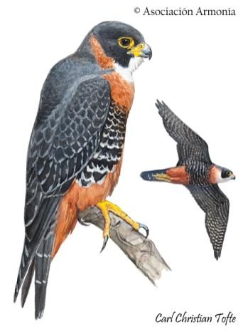 Orange-breasted Falcon (Falco deiroleucus).