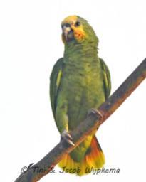 Orange-winged Parrot (Amazona amazonica). Copyright T&J Wijpkema.