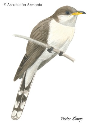 Pearly-breasted Cuckoo (Coccyzus euleri)