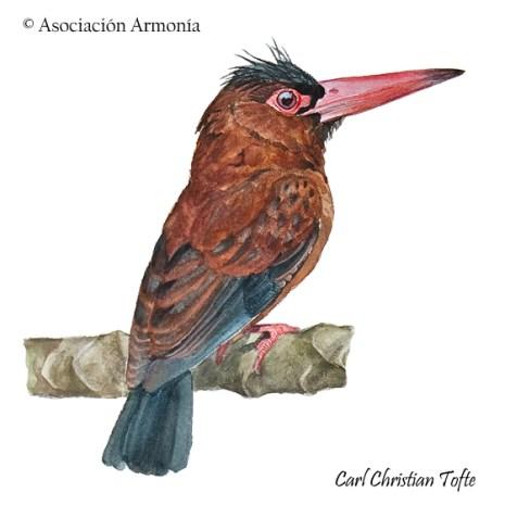 Purus Jacamar (Galbalcyrhynchus purusianus).