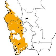Recurvirostra andina