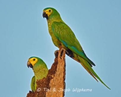 Red-bellied Macaw (Orthopsittaca manilatus). Copyright T&J Wijpkema.