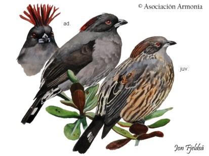 Red-crested Cotinga (Ampelion rubrocristatus)