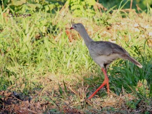Red-legged Seriema (Cariama cristata). Copyright S Vargas.