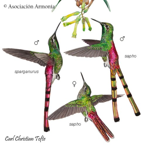Red-tailed Comet (Sappho sparganurus)