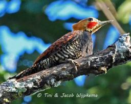 Ringed Woodpecker (Celeus torquatus). Copyright T&J Wijpkema.