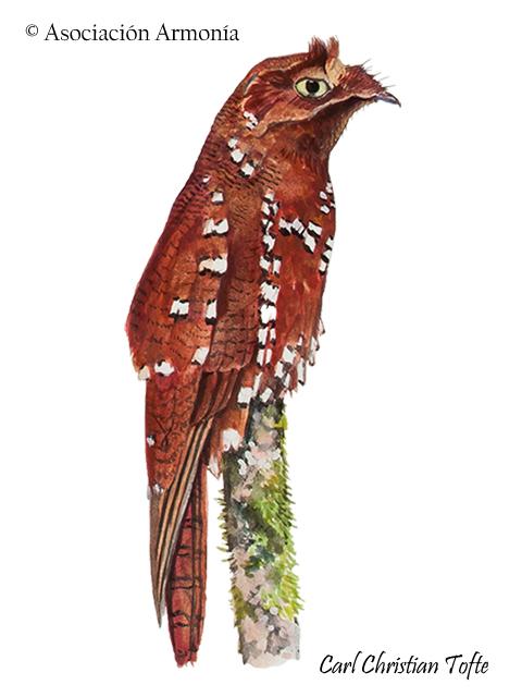 Rufous Potoo (Nyctibius bracteatus)
