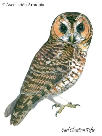 Rufous-banded Owl (Ciccaba albitarsis)