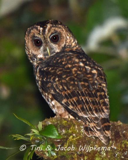 Rufous-banded Owl (Ciccaba albitarsis). Copyright T&J Wijpkema.