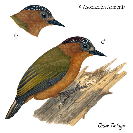 Rufous-breasted Piculet (Picumnus rufiventris)