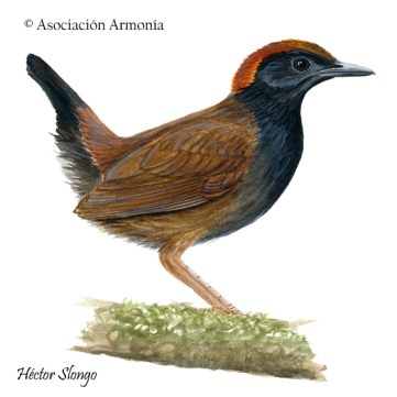 Rufous-capped Antthrush (Formicarius colma)
